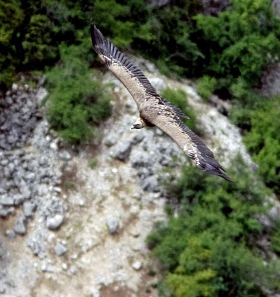 Griffon Vulture by ukdrifter