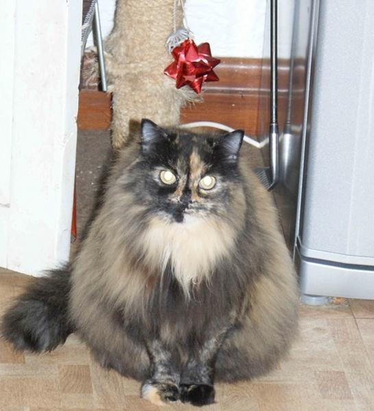 a fluffy owl (cat) by blakewb