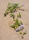 Beach flowers by Steve Cribbin