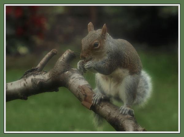 peanut  scoffer by dden