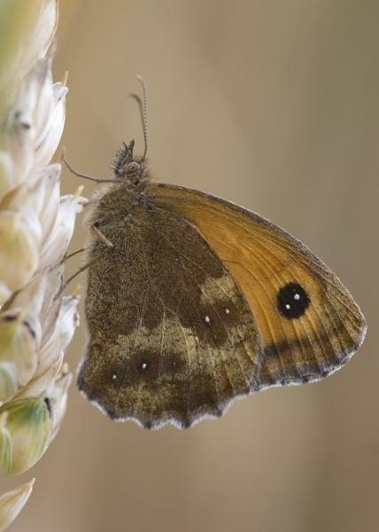 Gatekeeper butterfly. by GeorgeLedger