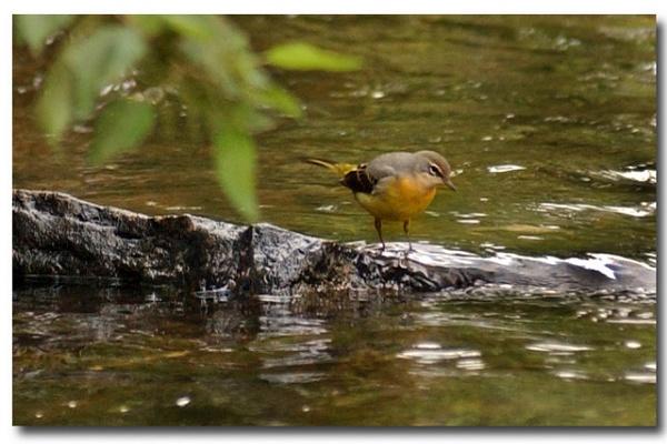 yellow bird by patman