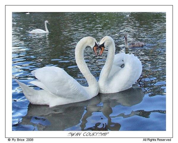 Swan Courtship by RobRi