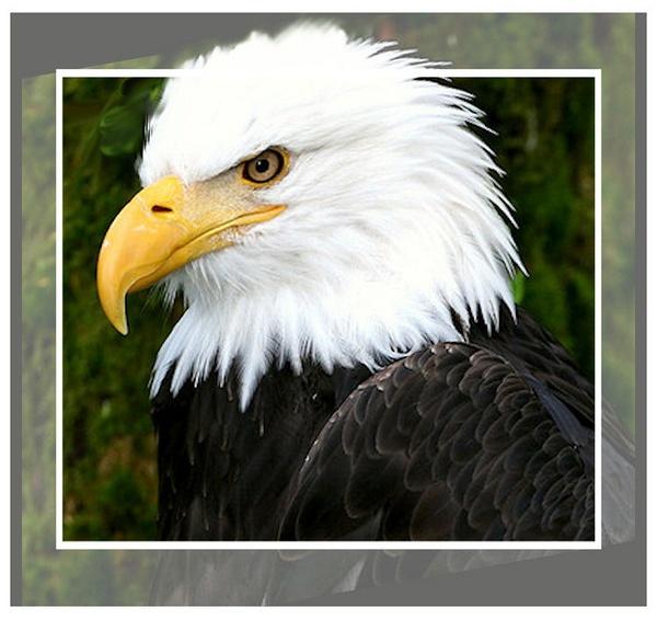 Bald Eagle by PhotographyBySuzan