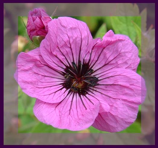 Lilac Poppy by GDCsparky