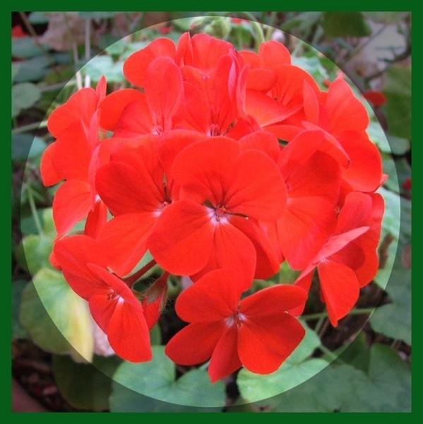 Red Geranium by GDCsparky