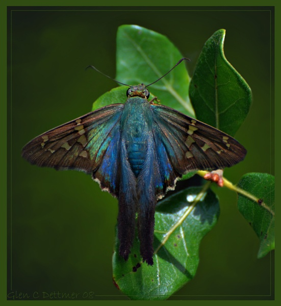 Long-tailed Skipper by GlenD