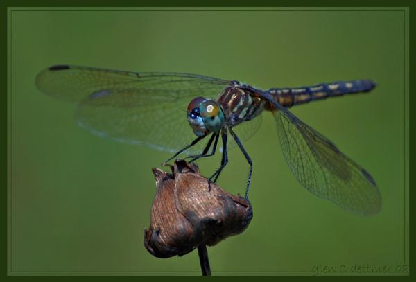 Blue Dasher (Female) by GlenD