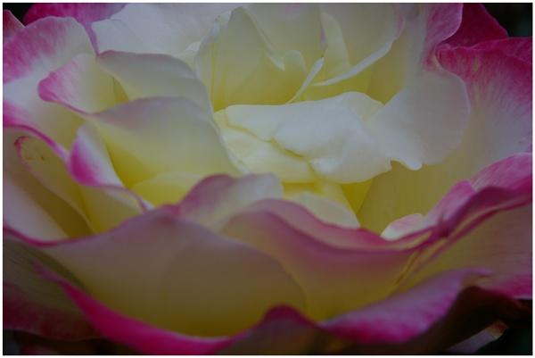 Rose unfurled by Barbaraj
