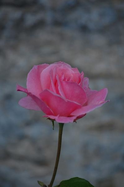rose by ian_b