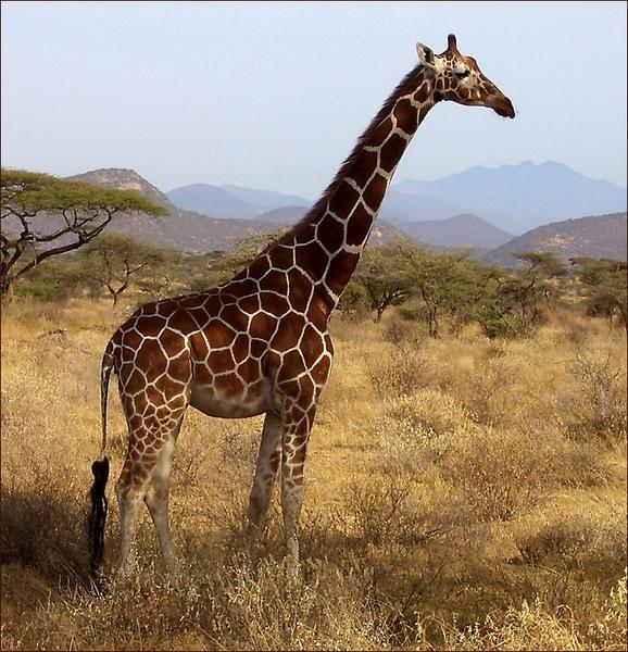 Giraffe by OMG