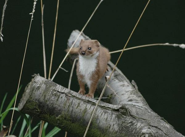 Weasel (Mustela Nivalis) by brownbear1991