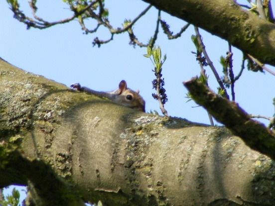 Hiding Squirrel by SiSheff