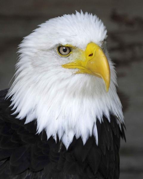 Bald Eagle by peel3081