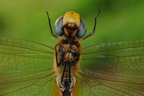 A Praying Mantis, Oops! Dragonfly by konu