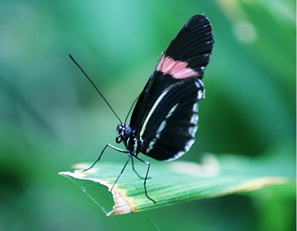 Postman Butterfly by jove
