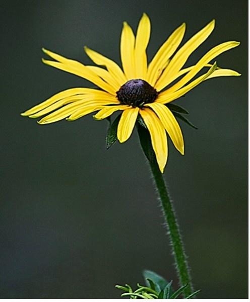 Yellow Daisy by jove