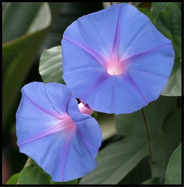 "Bright & Beautiful \""Morning Glory\"" by jove"