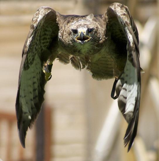Buzzard in flight by mattphotos