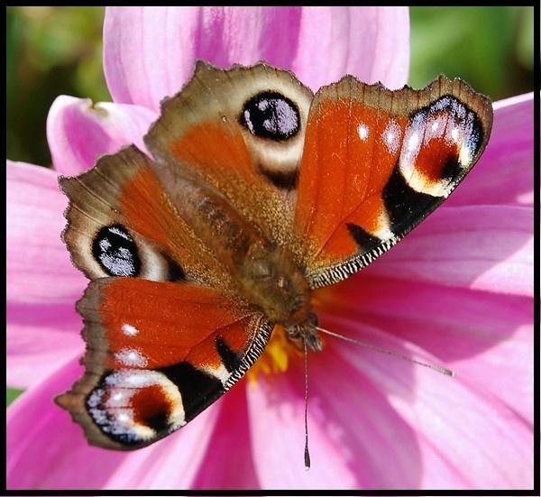 Peacock Butterfly by mrsvee