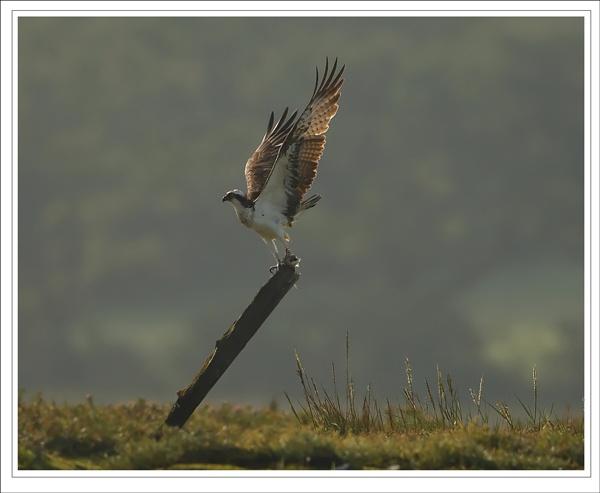 Osprey by DannyVokins