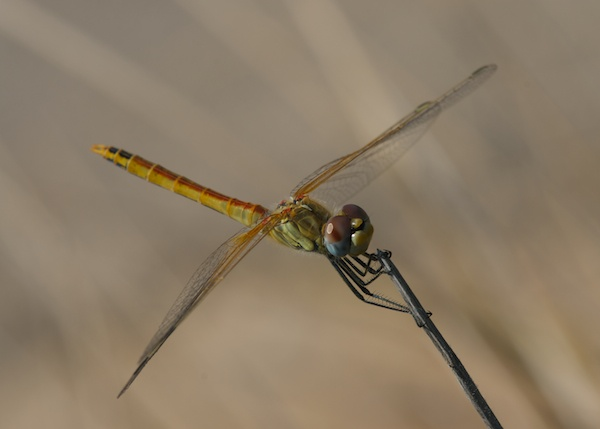 Dragonfly by Digidiverdave