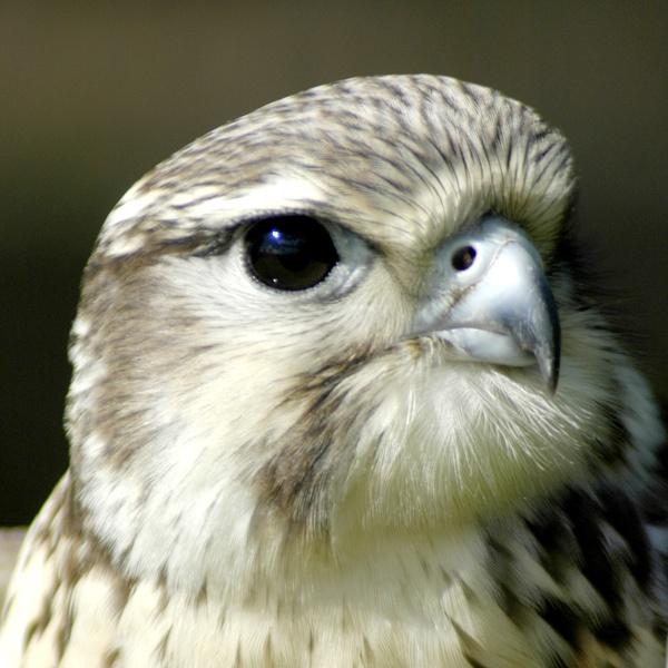 Hawk Eye by Digidiverdave