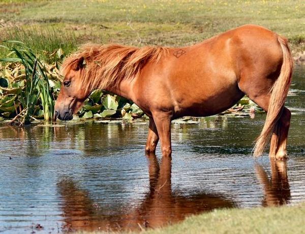 New Forest Pony by iancam