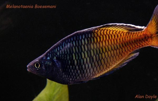 Melanotaenia Boesemani by Alan86