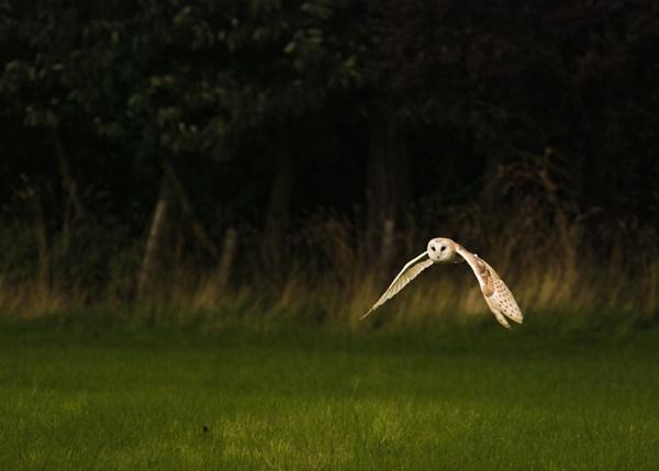 Barn owl by siderath
