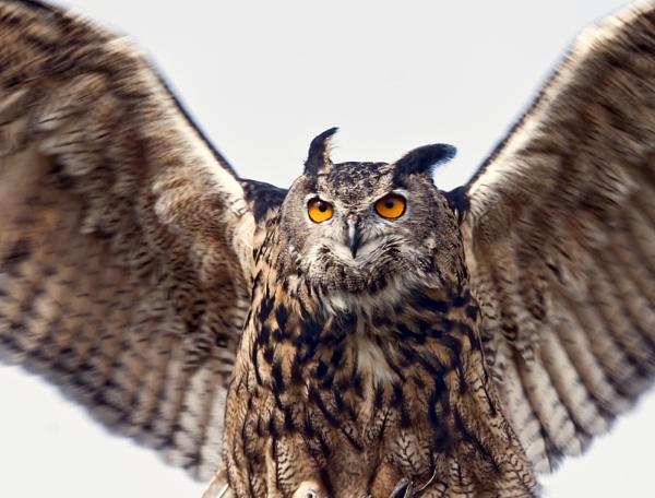 Owl by siderath