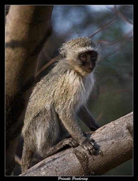 Pondering Primate by old timer