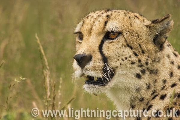 Cheetah by Bainy