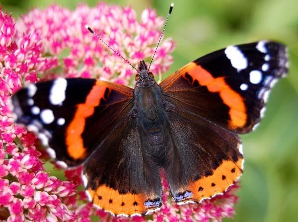 flutterby by bigbrum