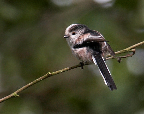 Long Tailed Tit by KarlC
