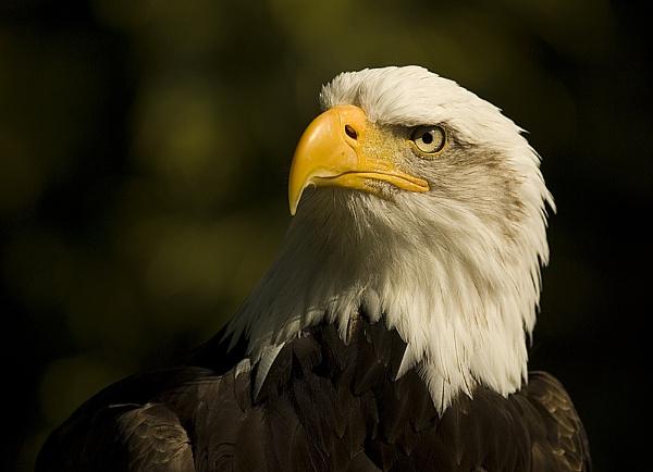 Eagle by SueWB