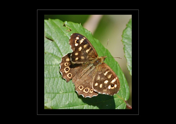 A tatty Speckled Wood by BEVZED