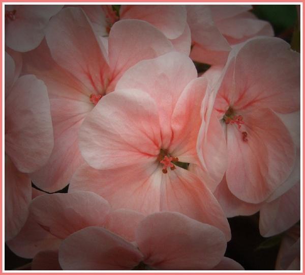 Pink Geranium by GDCsparky