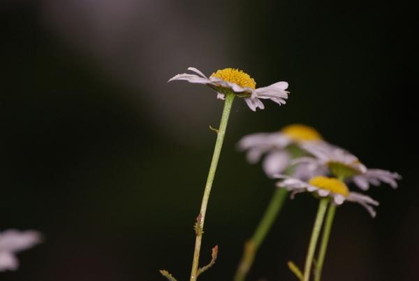 daisy by mairit
