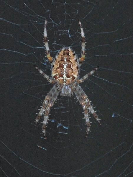 Spider by Christopher_Malpas