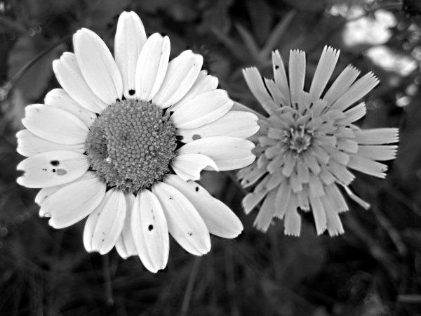 Daisy by Chloeums