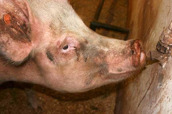 Mr Pig by gillbat