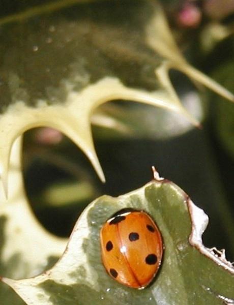 ladybird3 by Mintakax