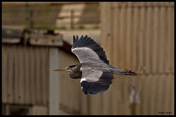 flight of the heron by ducatifogarty