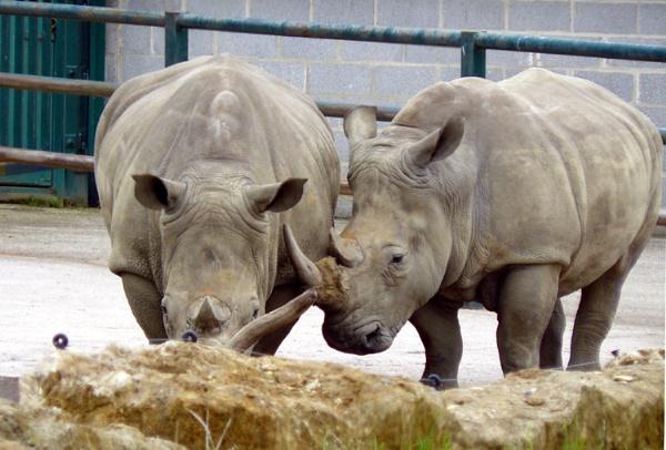 white rhino\'s by PeterLaw
