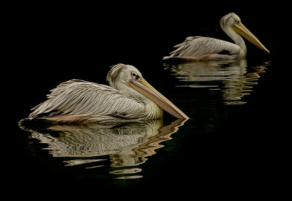 Pelican pair by Angi_Wallace