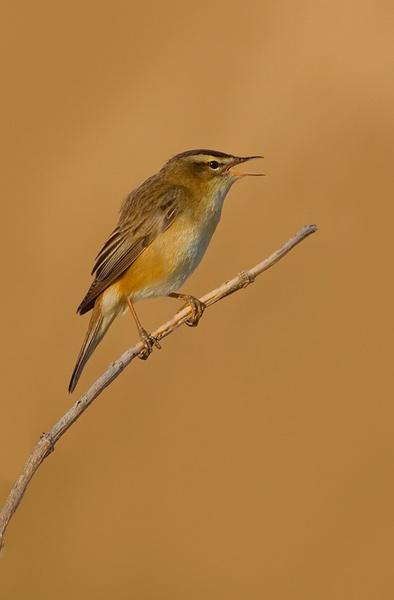 Sedge Warbler Singing by nigelpye