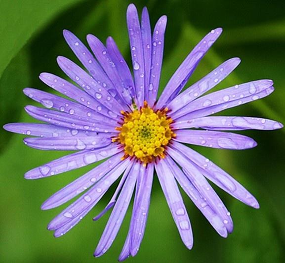 Blue Daisy? by jove
