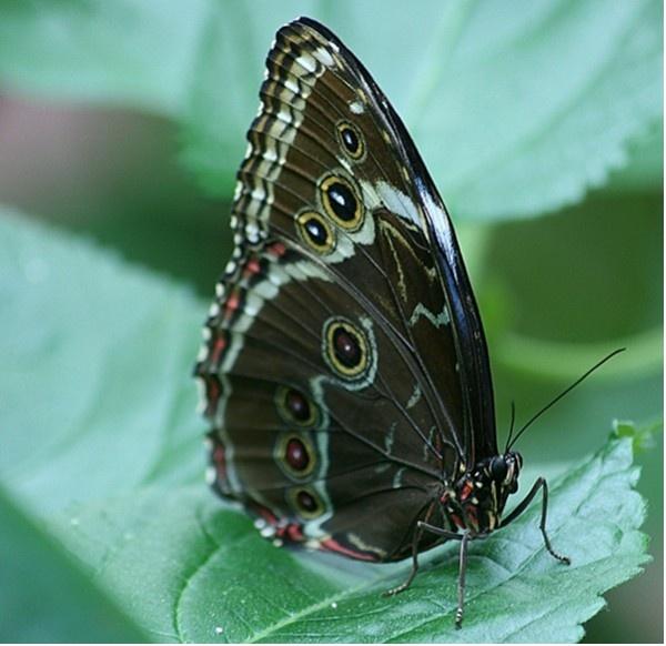 Blue Morpho Butterfly by jove