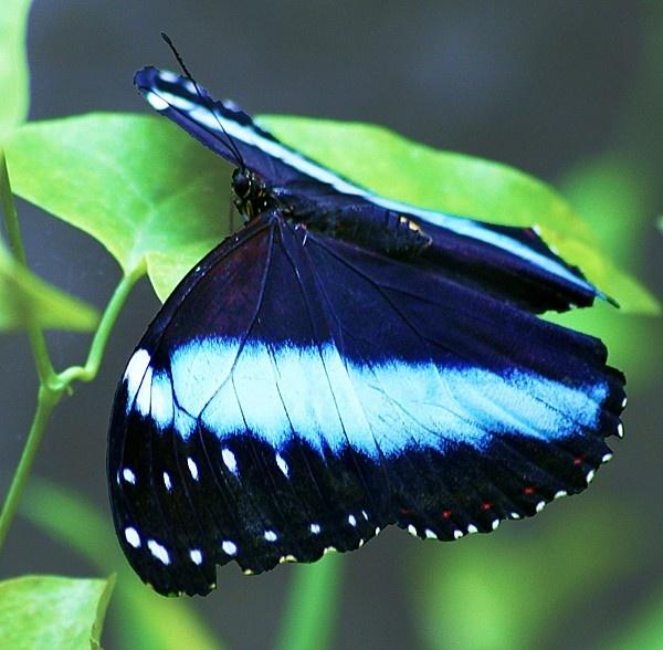 Blue Morpho Butterfly II by jove